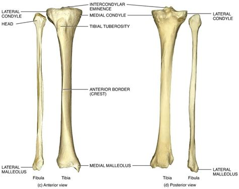 shin bone diagram tibia fibula anatomy human anatomy diagram