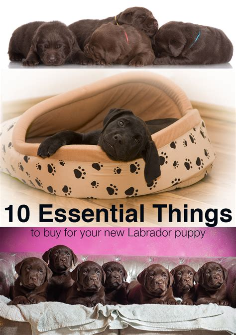 things to buy for a new puppy 10 things to buy for your new labrador puppy