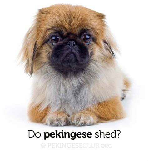 Do Pugs Shed A Lot Of Hair do pug dogs shed hair breeds picture