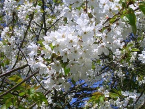 cherry tree b b blackpool cherry trees for sale choose your cherry plant