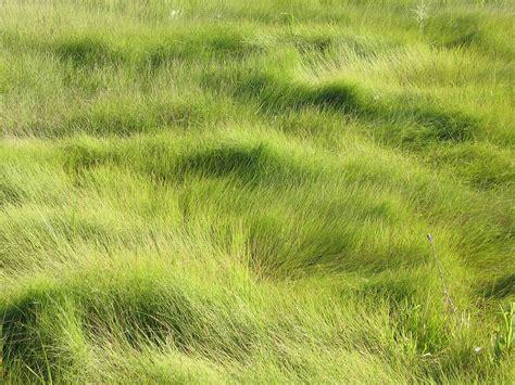 spartina patens saltmarsh hay saltmeadow cordgrass go botany