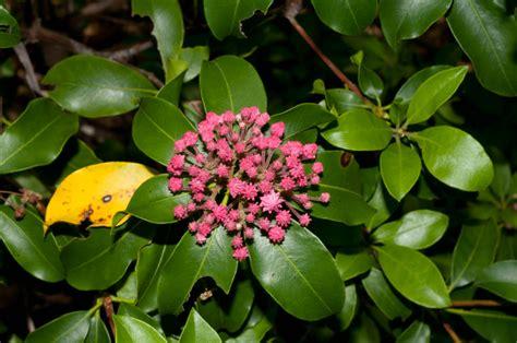 kalmia latifolia kalmia latifolia mountain laurel