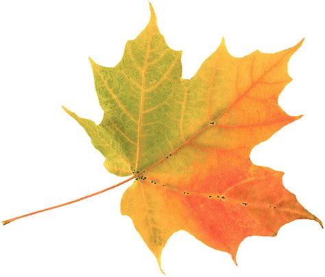 google images fall leaves preserve fall leaves fall leaves leaves and google images