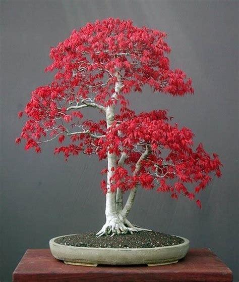 acero rosso in vaso bonsai acero rosso bonsai