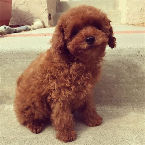 mini goldendoodles east coast 27 best images about poodle puppies on