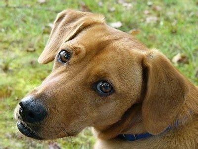 golden retriever lab mix shedding beagle lab mix shedding breeds picture