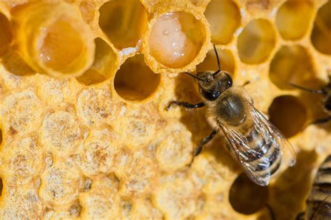 Narural Royal Jelly the royal jelly of bees is great at healing wounds and