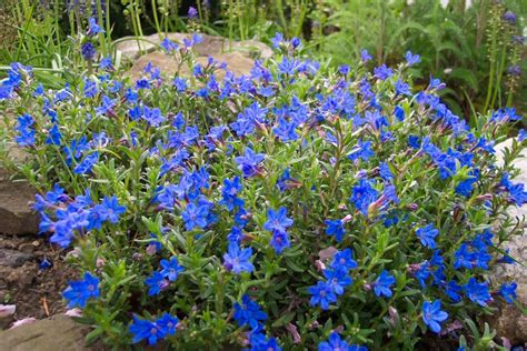 shrub blue flowers paul townend s homepage