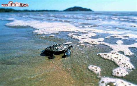 ufficio turismo francese tartaruga guyana francese il primo tuffo in foto