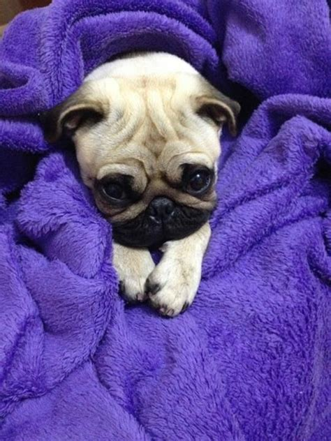 purple pug 1974 best puggy wuggy images on pug pug dogs and pugs