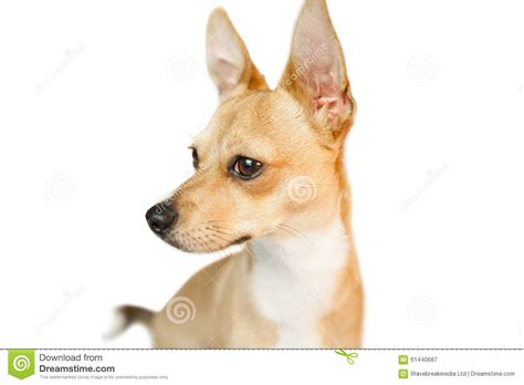 dogs with pointy ears with pointy ears stock photo image 61440687