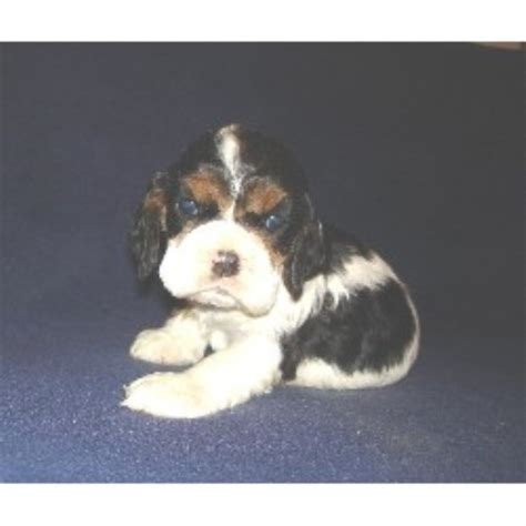 cocker spaniel puppies ohio mar cockers american cocker spaniel breeder in galion ohio listing id 10167