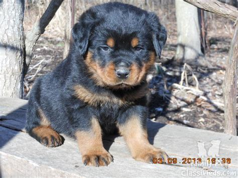 pet dogs and puppies for sale in walsall west midlands adverts rottweiler puppies for sale 16 free wallpaper