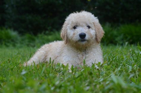 Goldendoodle Shed by Low Shedding Puppies Non Shedding Goldendoodles Schnoodle