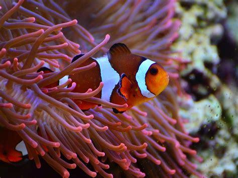 la chachipedia el pez payaso apexwallpaperscom as 237 cambia de sexo el pez payaso