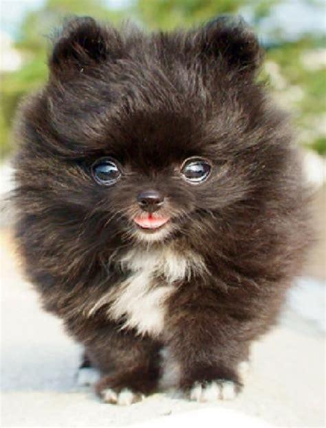 miniture pomeranians best 25 miniature pomeranian ideas on pomeranian puppy pomeranian and