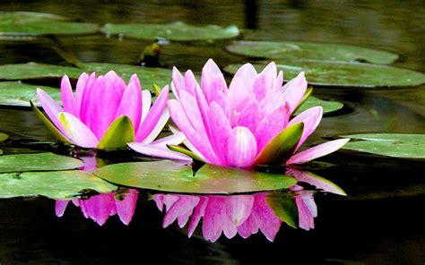 gambar bunga teratai mekar  air pernik dunia