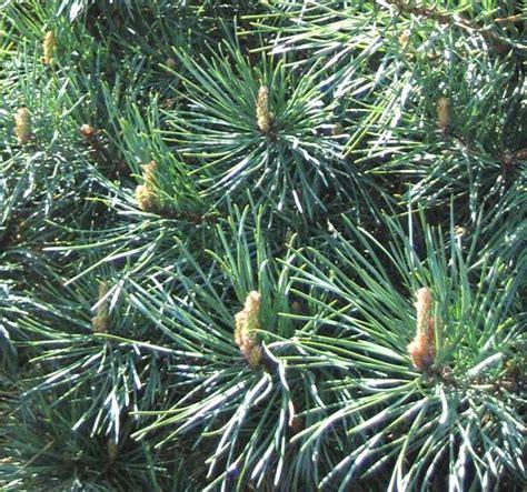 fiori di bach pine pine fiore di bach cosa 232 e a cosa serve pine dei fiori
