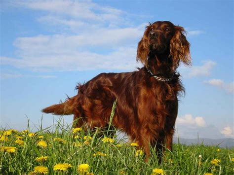 Irish Setter Pictures And Photos 1 | Dog Breeds Picture