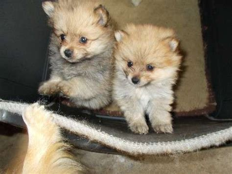 gray pomeranian puppies for sale 61 best images about pomeranian puppies on puppys pomeranian and