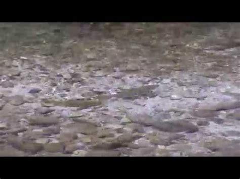 letto nuziale preparazione letto nuziale trota lacustre lago di