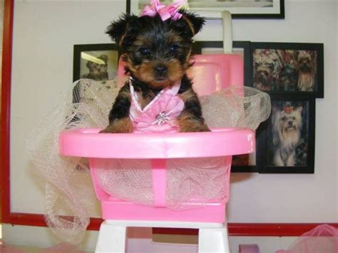 yorkie breeders in ny state ads dogs and puppies pets weekly paper