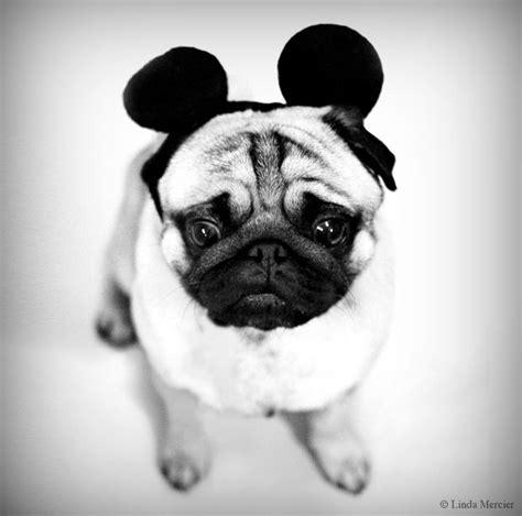 pug ears mickey mouse ears pug pugs