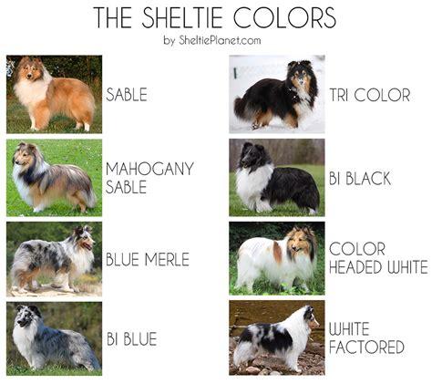 sheltie colors the 8 sheltie coat colors