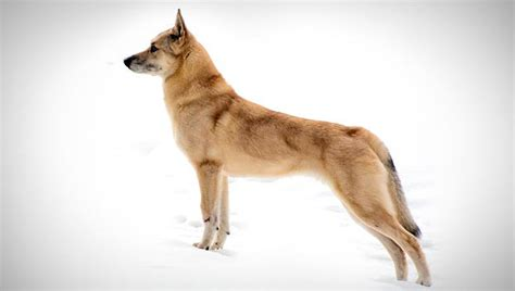 spitz breeds spitz breed selector animal planet