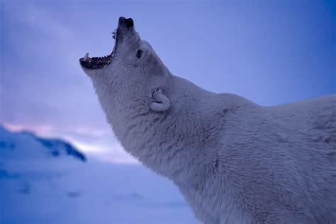 wallpaper polar bear roaring  animals