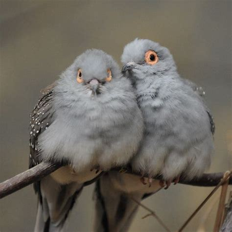 17 best images about diamond doves on pinterest los