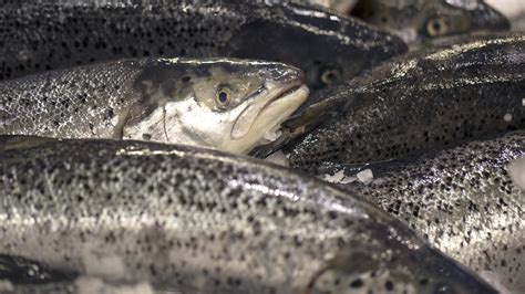 Hezzel Farm Salmon 90 S salmon make escape bid channel 4 news