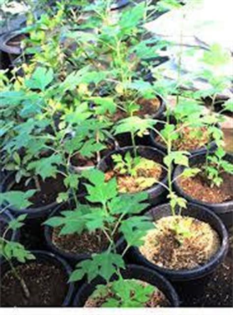 Bibit Tanaman Herbal Brotowali aneka tanaman obat apotik hidup