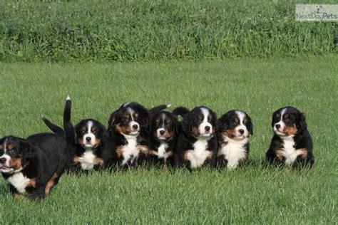 bernese mountain puppies mn bernese mountain puppy for sale near rochester minnesota 5d70d6fc 5a71