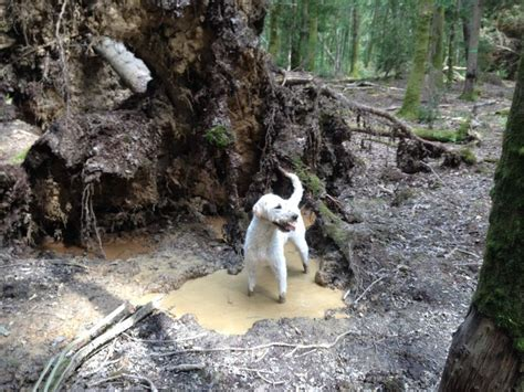 mud pug 16 best images about muddy pups on we pug and the mud