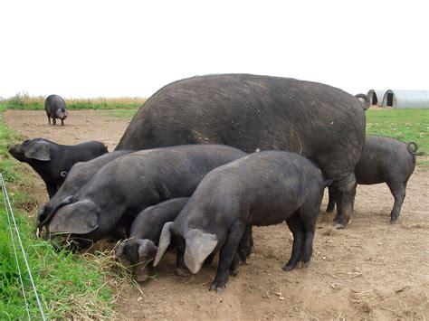 big black breeds list of pig breeds