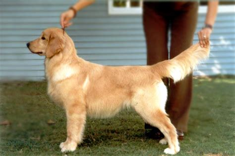 6 months golden retriever golden retrievers at 6 months pics breeds picture