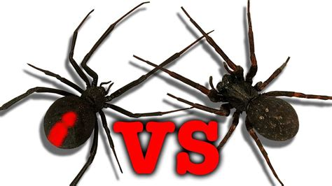 red house spider red back spider vs black widow