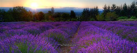 oregon lavender association oregon lavender destinations