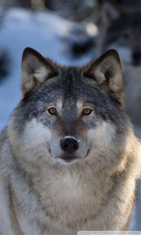 wolves  hd desktop wallpaper   ultra hd tv tablet