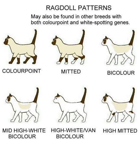 ragdoll cat colors ragdoll colors patterns