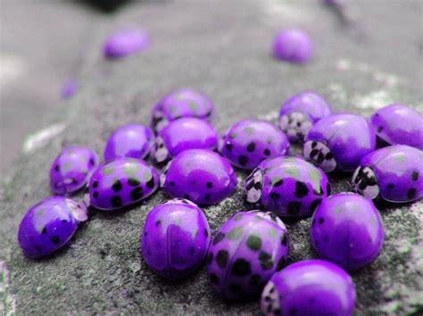 colors of ladybugs false purple ladybugs