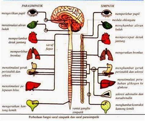 Fisiologi Kerja Dan Olah Raga Foto Fungsi Tubuh Manusia Pada Kerja susunan saraf tepi