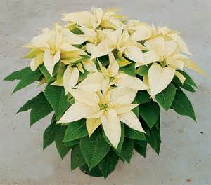 white poinsettia holidays steins flowers