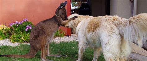 can a golden retriever live outside meet dusty the australian pet kangaroo who thinks he s a abc news