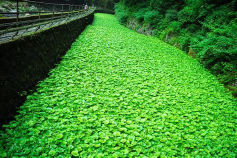 most difficult plants to grow 7 tips tricks for growing wasabi successfully