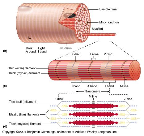 labeled sarcomere diagram gallery for gt sarcomere diagram labeled