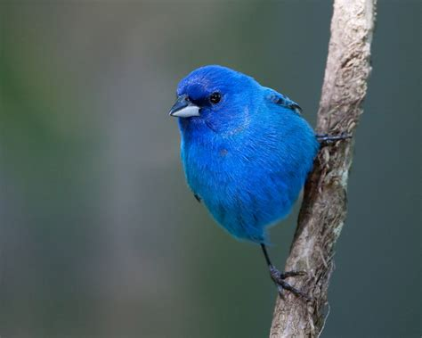 steve creek indigo bunting the national wildlife