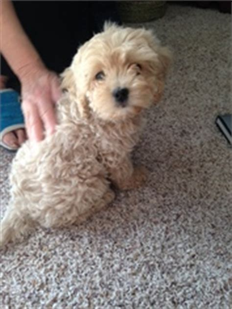 cavapoo puppies for sale ny view ad cavapoo puppy for sale new york fairport