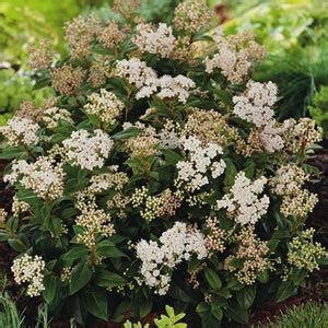 shrub with small white flower clusters fast growing shrubs and evergreen on